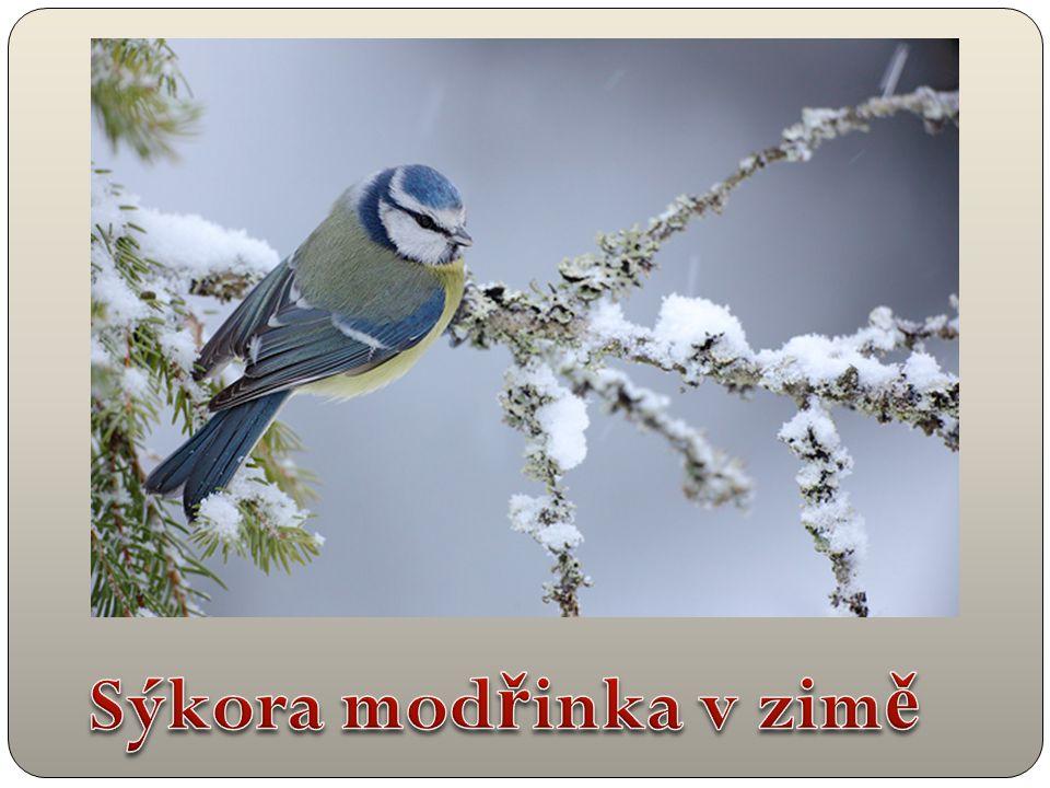 Sýkora modřinka v zimě