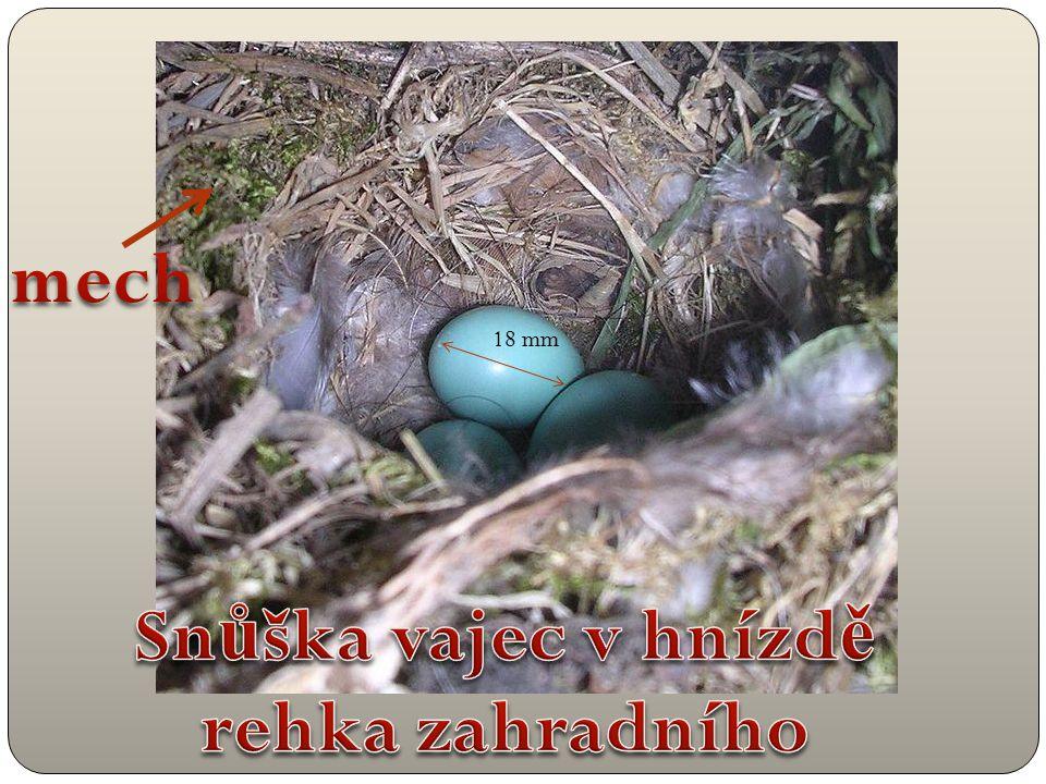 Snůška vajec v hnízdě rehka zahradního