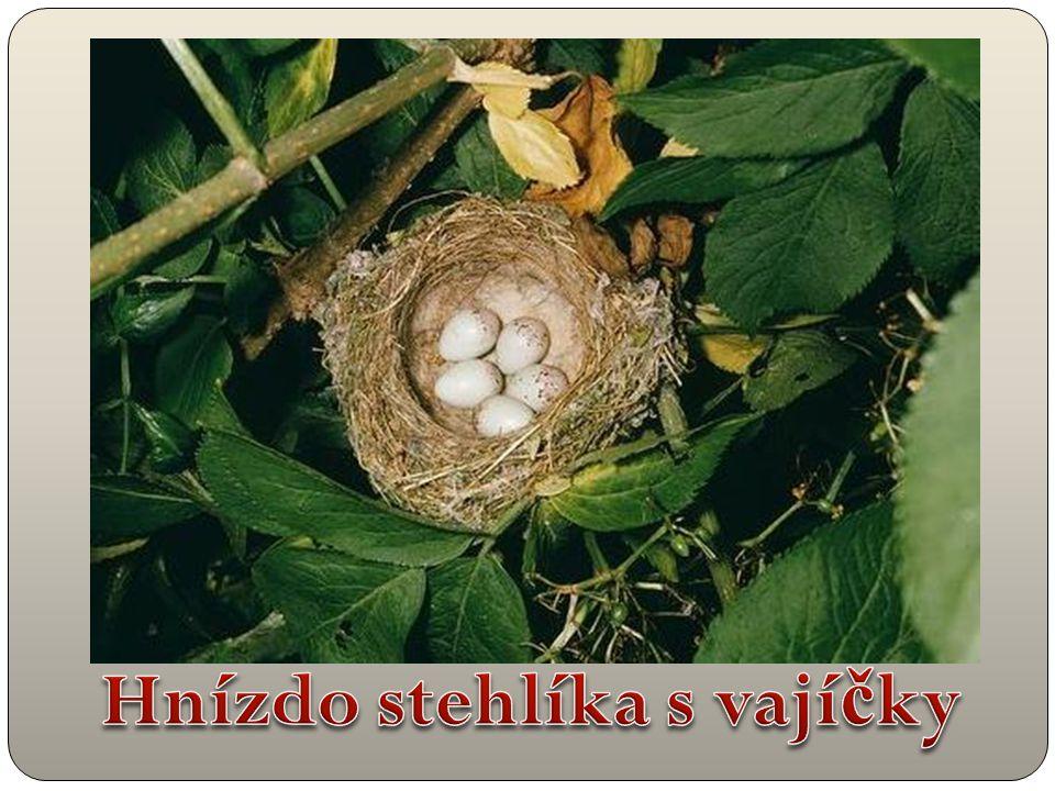 Hnízdo stehlíka s vajíčky