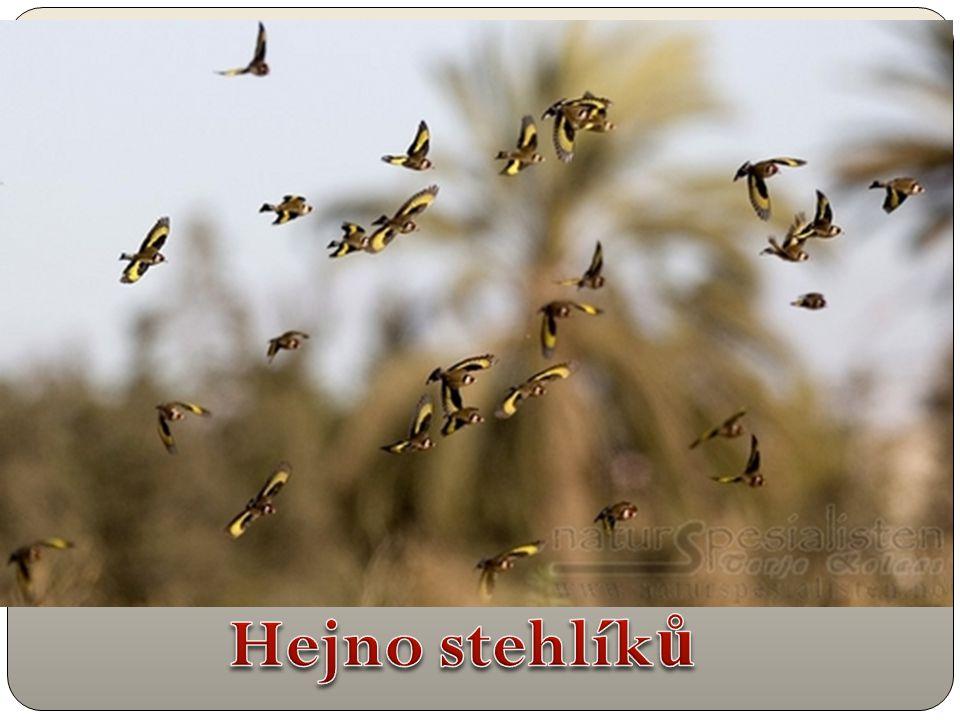 Hejno stehlíků