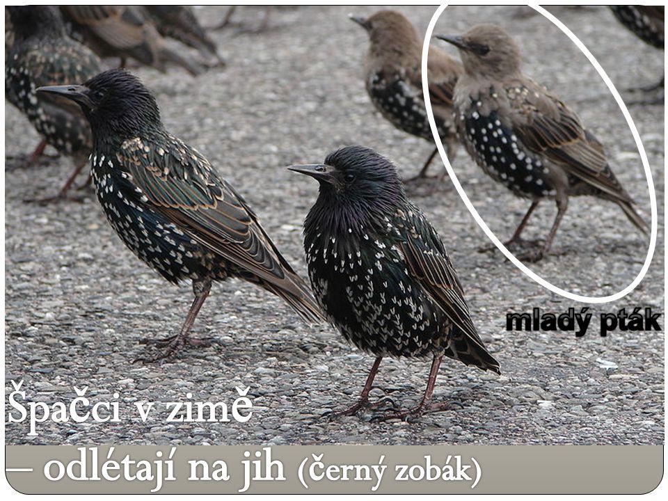 Špačci v zimě – odlétají na jih (černý zobák)