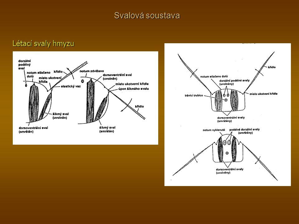 Svalová soustava Létací svaly hmyzu