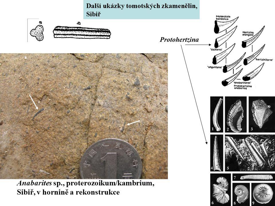 Anabarites sp., proterozoikum/kambrium,