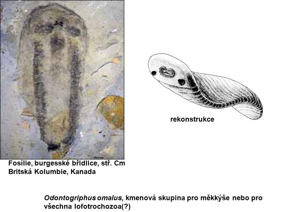 rekonstrukce Fosílie, burgesské břidlice, stř. Cm. Britská Kolumbie, Kanada. Odontogriphus omalus, kmenová skupina pro měkkýše nebo pro.