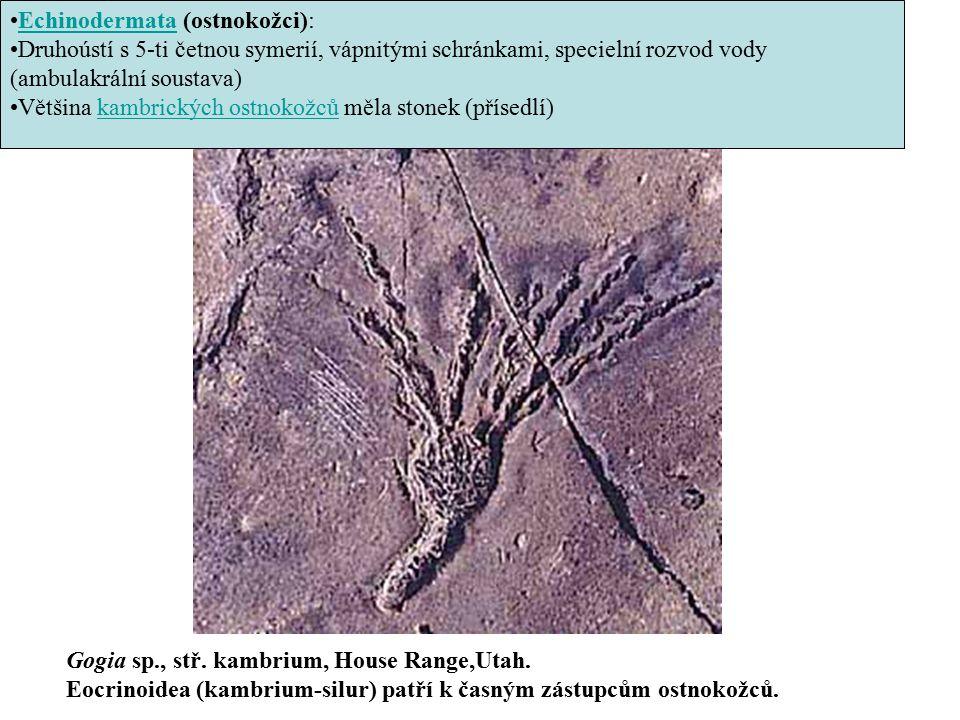 Echinodermata (ostnokožci):