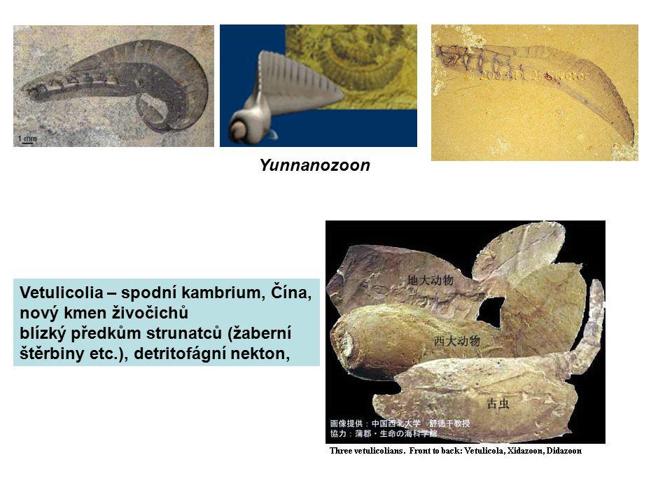 Yunnanozoon Vetulicolia – spodní kambrium, Čína, nový kmen živočichů. blízký předkům strunatců (žaberní.
