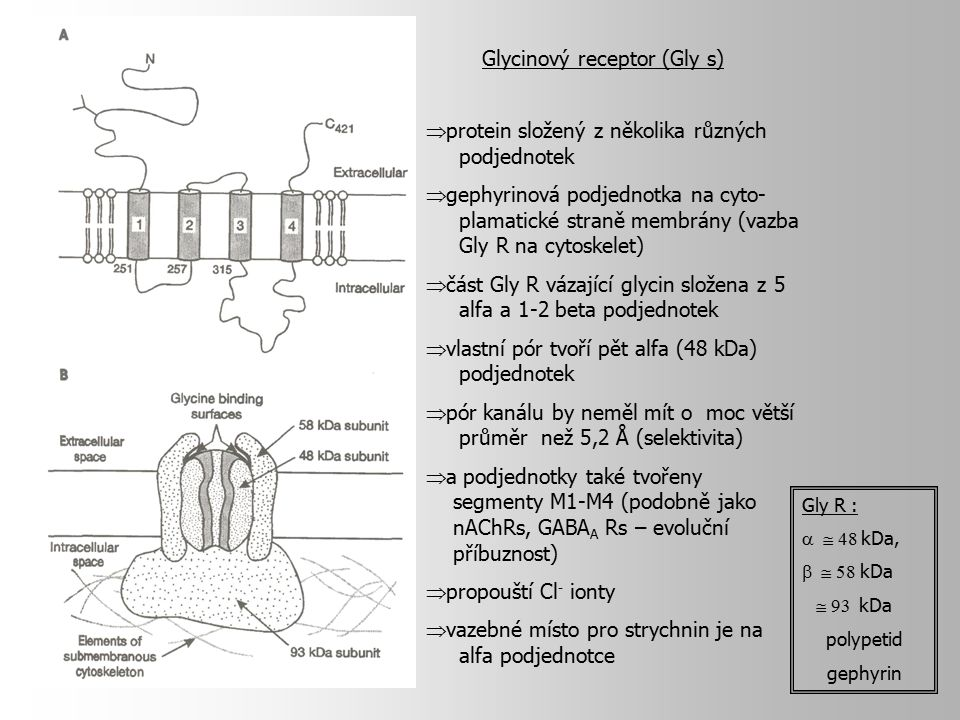 Glycinový receptor (Gly s)