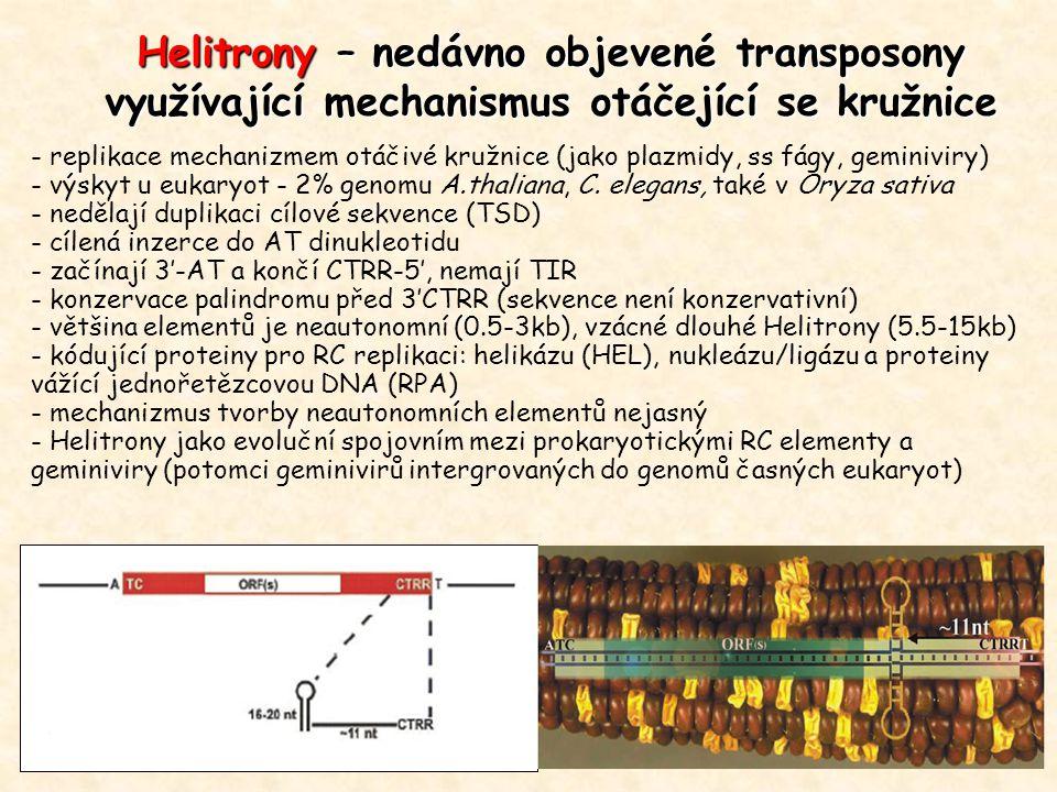Helitrony – nedávno objevené transposony využívající mechanismus otáčející se kružnice