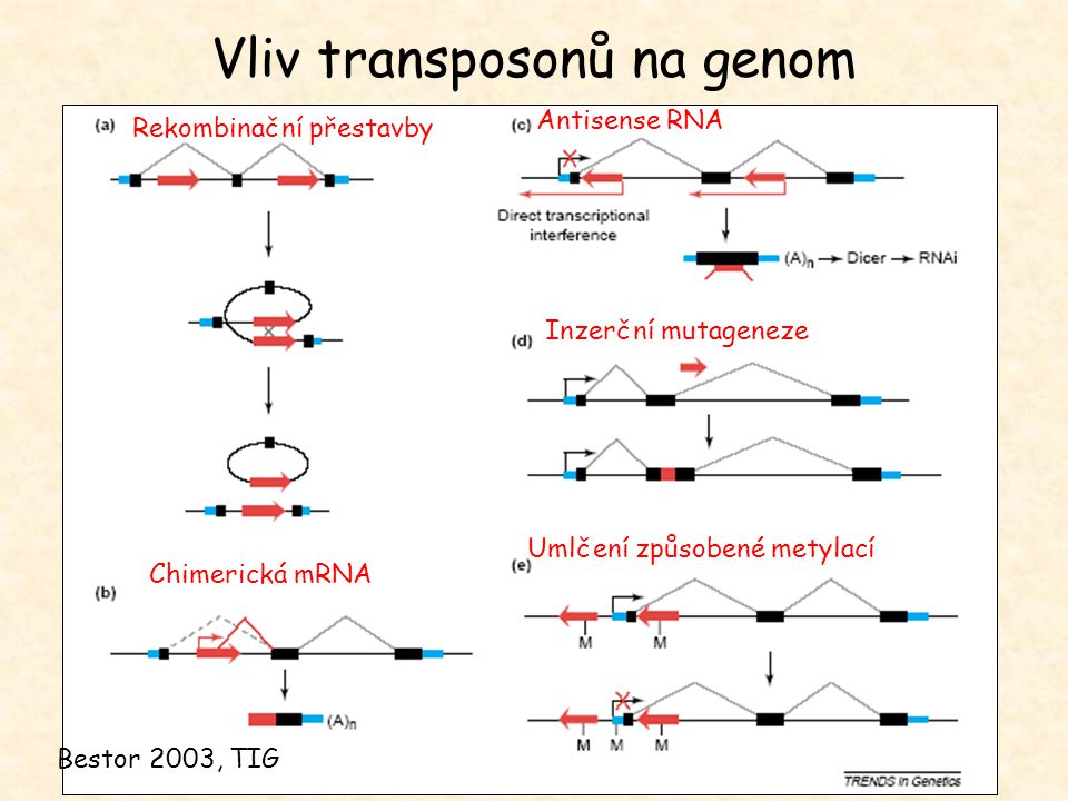 Vliv transposonů na genom