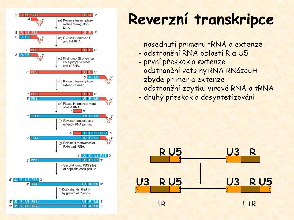 Reverzní transkripce R U5 U3 R U3 R U5 U3 R U5