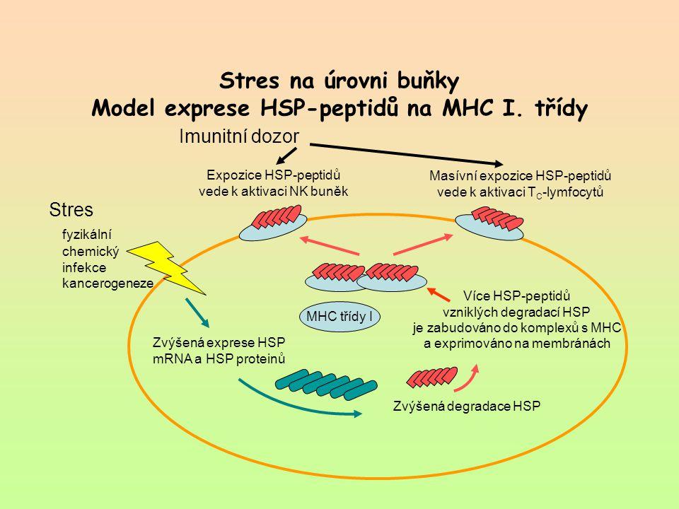 Stres na úrovni buňky Model exprese HSP-peptidů na MHC I. třídy