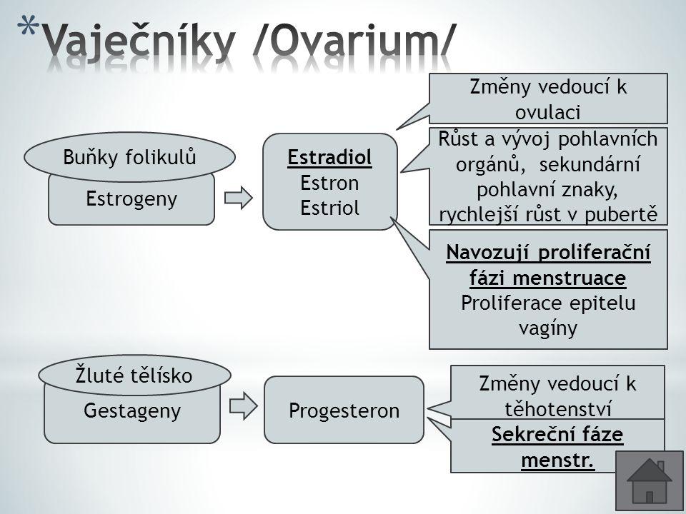 Vaječníky /Ovarium/ Změny vedoucí k ovulaci