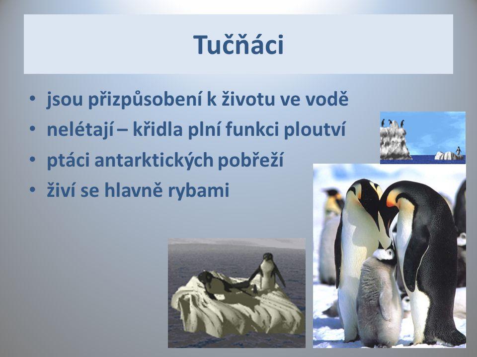 Tučňáci jsou přizpůsobení k životu ve vodě