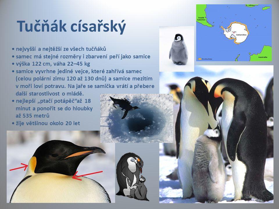 Tučňák císařský • nejvyšší a nejtěžší ze všech tučňáků