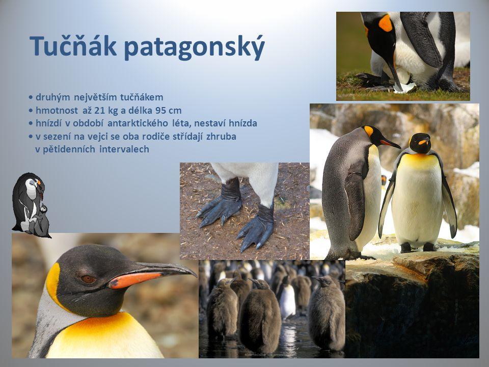 Tučňák patagonský • druhým největším tučňákem