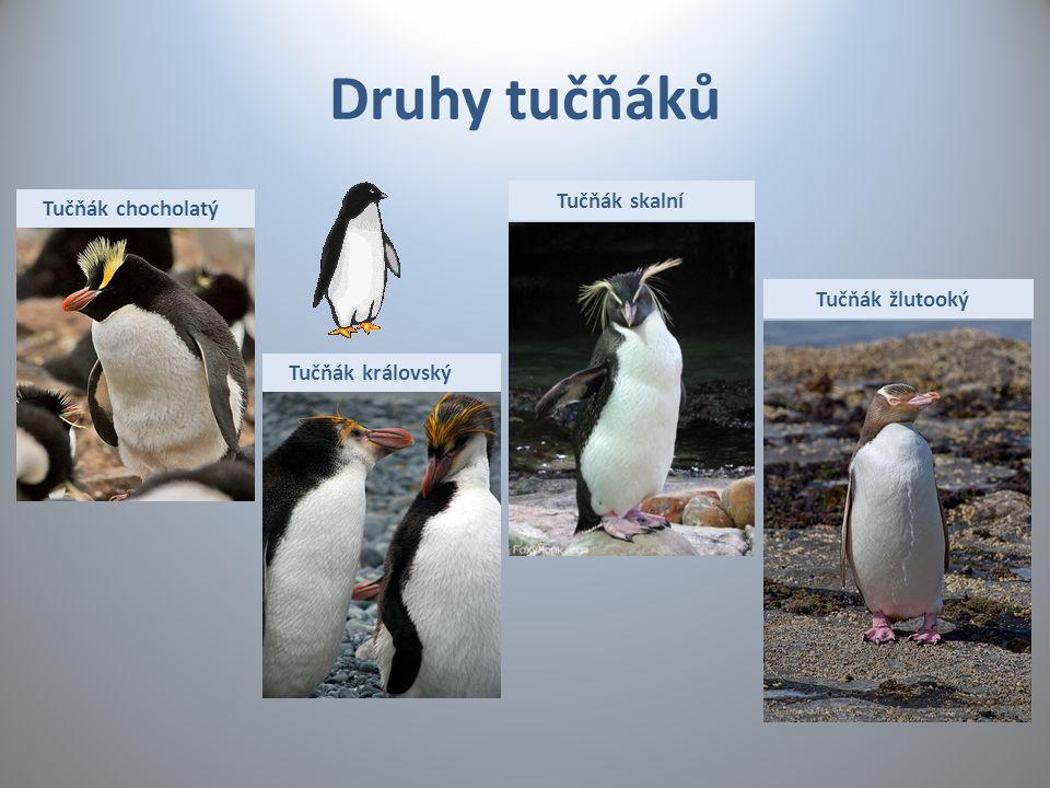 Druhy tučňáků Tučňák skalní Tučňák chocholatý Tučňák žlutooký