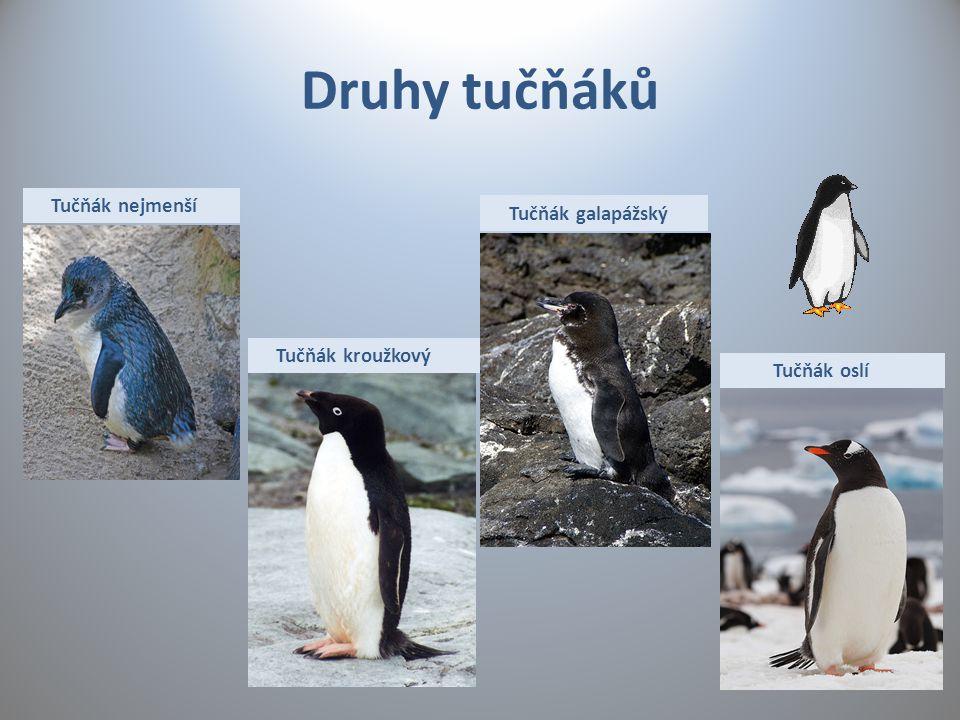 Druhy tučňáků Tučňák nejmenší Tučňák galapážský Tučňák kroužkový