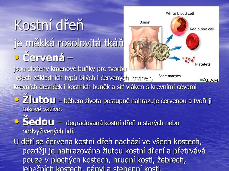 Kostní dřeň je měkká rosolovitá tkáň Červená –