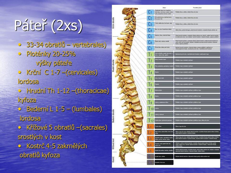 Páteř (2xs) 33-34 obratlů – vertebrales) Ploténky 20-25% výšky páteře
