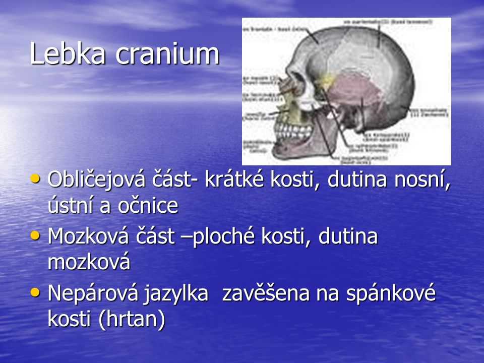 Lebka cranium Obličejová část- krátké kosti, dutina nosní, ústní a očnice. Mozková část –ploché kosti, dutina mozková.