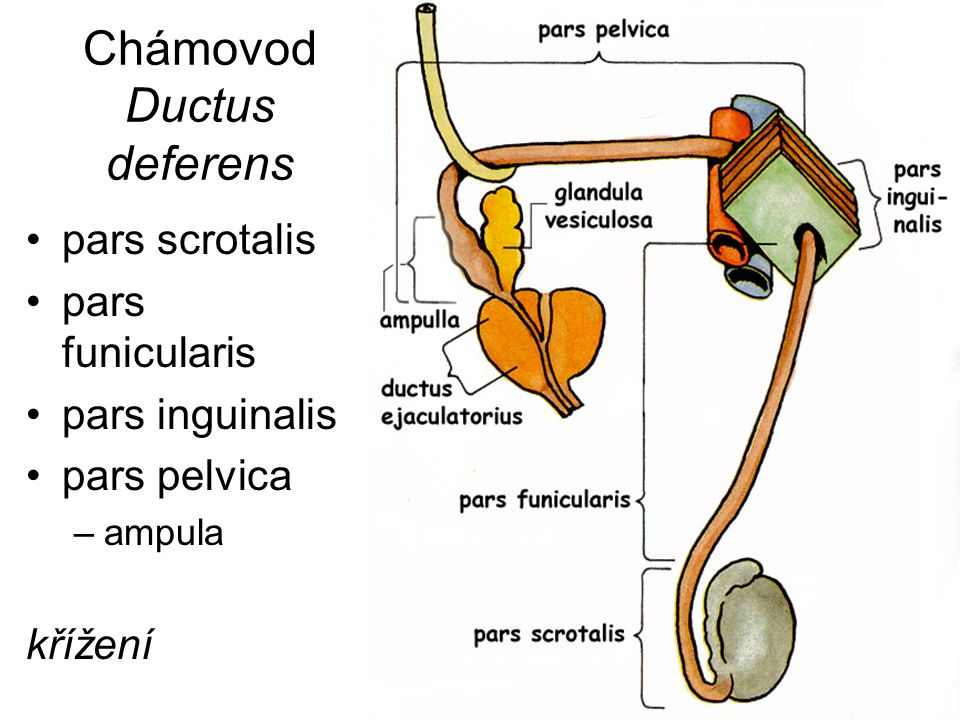 Chámovod Ductus deferens