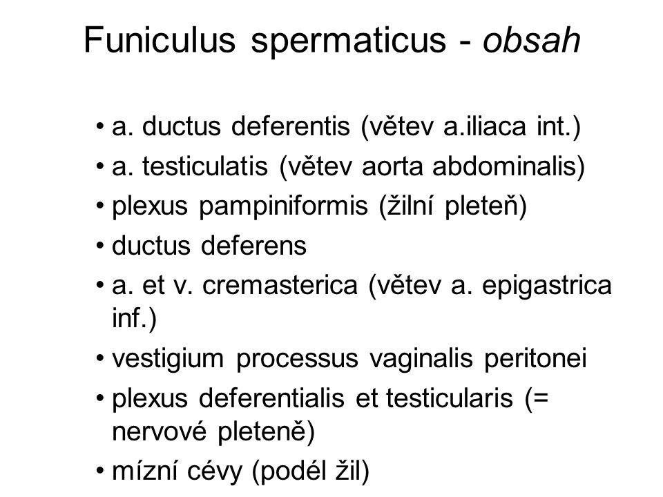 Funiculus spermaticus - obsah