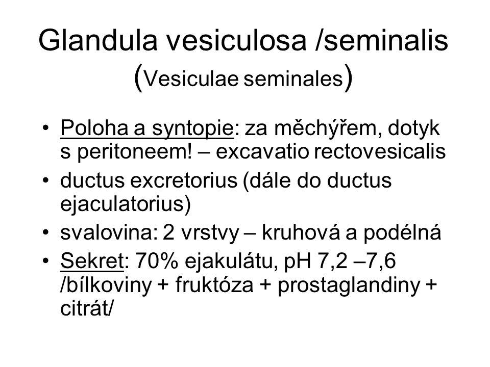 Glandula vesiculosa /seminalis (Vesiculae seminales)