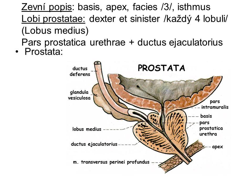Zevní popis: basis, apex, facies /3/, isthmus Lobi prostatae: dexter et sinister /každý 4 lobuli/ (Lobus medius) Pars prostatica urethrae + ductus ejaculatorius