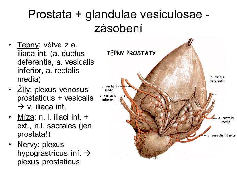 Prostata + glandulae vesiculosae - zásobení