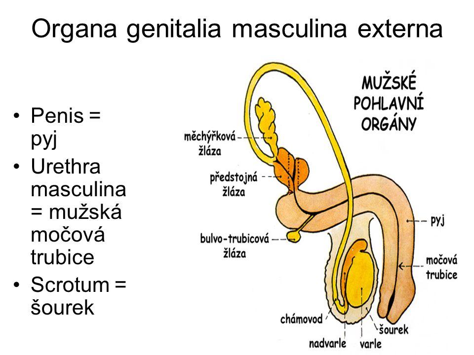 Organa genitalia masculina externa