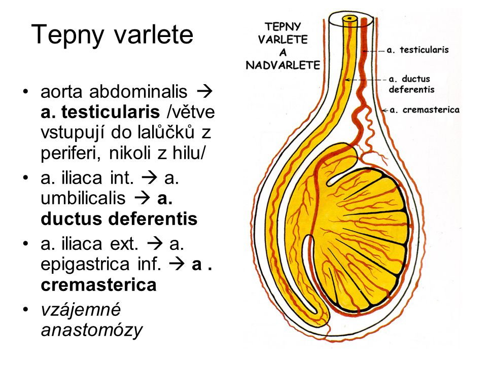 Tepny varlete aorta abdominalis  a. testicularis /větve vstupují do lalůčků z periferi, nikoli z hilu/