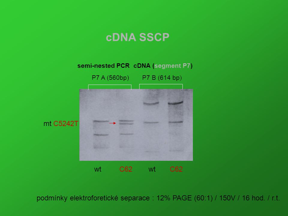 cDNA SSCP semi-nested PCR cDNA (segment P7) P7 A (560bp) P7 B (614 bp) mt C5242T. wt C62 wt C62.