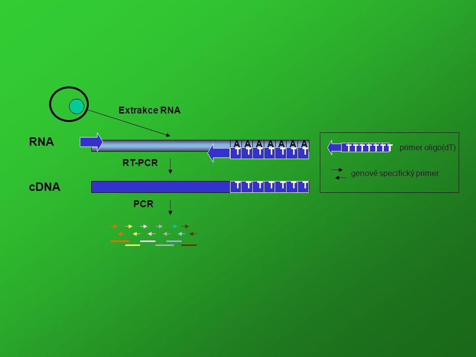 RNA cDNA Extrakce RNA A T RT-PCR PCR primer oligo(dT)