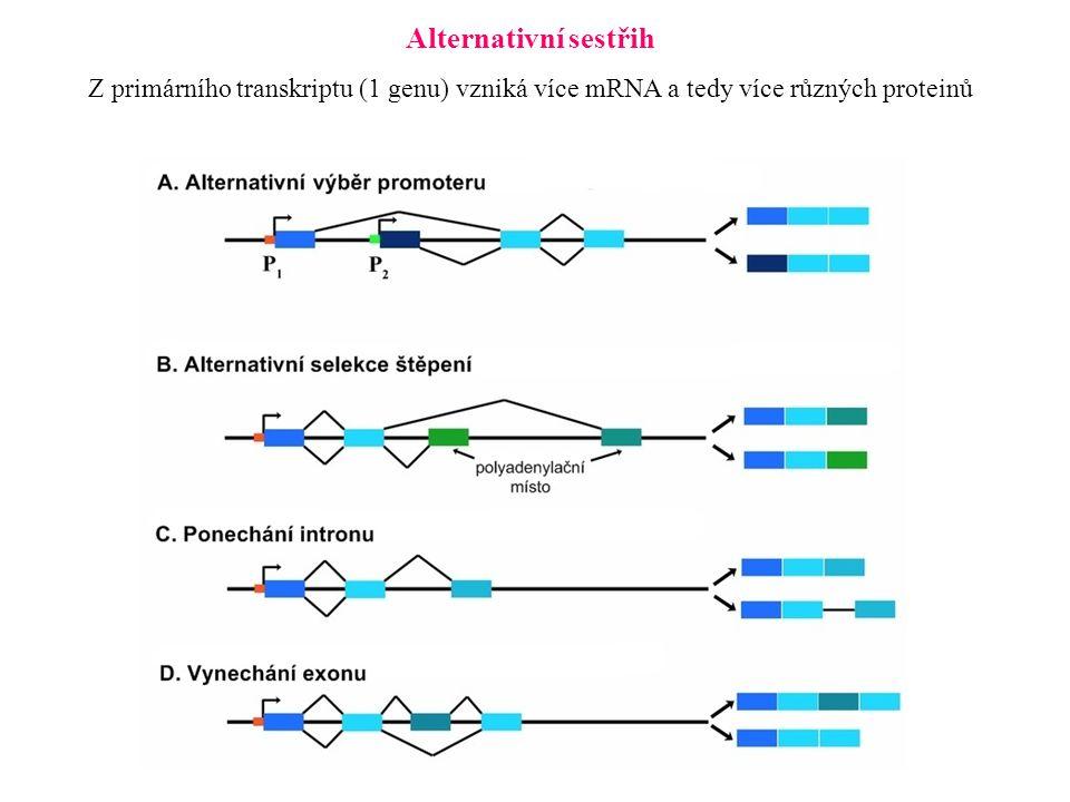 Alternativní sestřih Z primárního transkriptu (1 genu) vzniká více mRNA a tedy více různých proteinů.