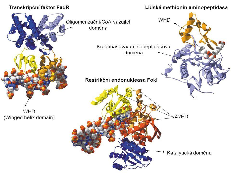 Transkripční faktor FadR Lidská methionin aminopeptidasa