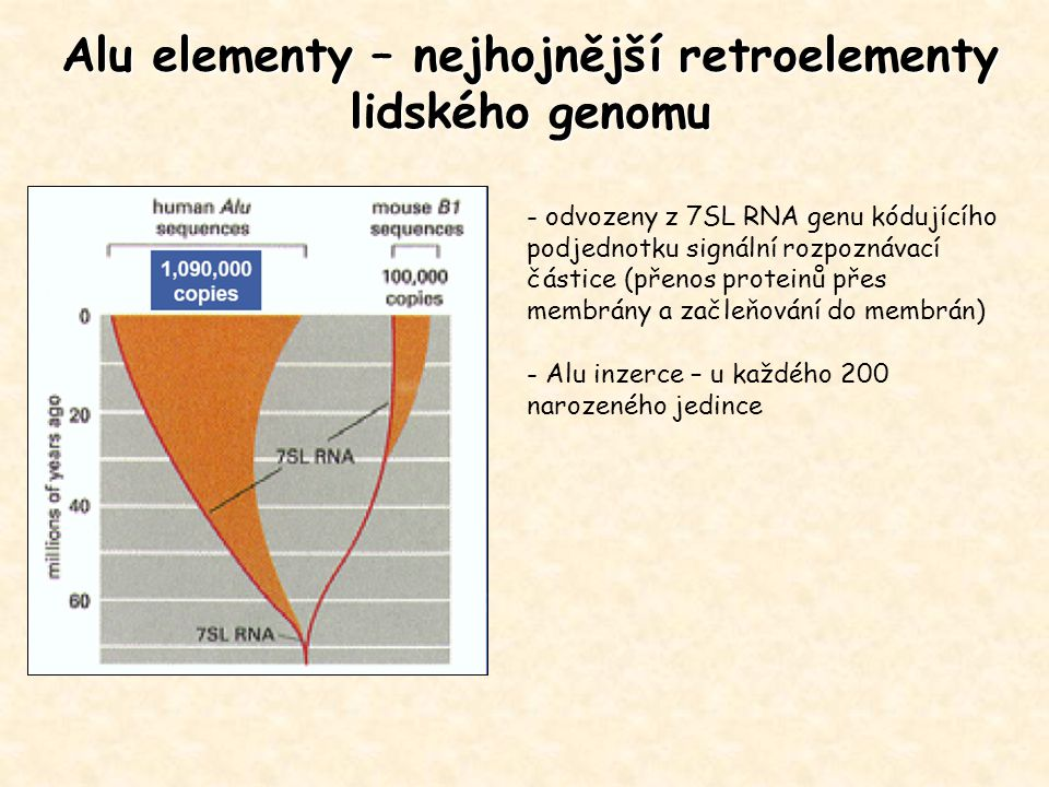 Alu elementy – nejhojnější retroelementy lidského genomu