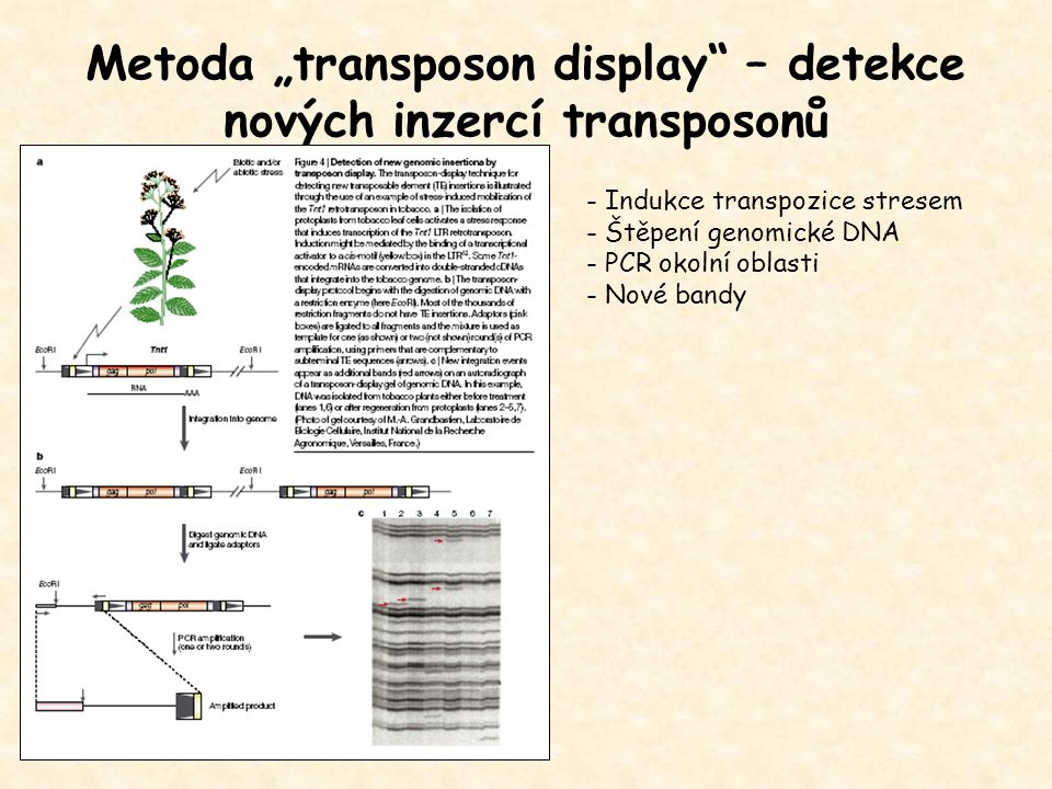 """Metoda """"transposon display – detekce nových inzercí transposonů"""