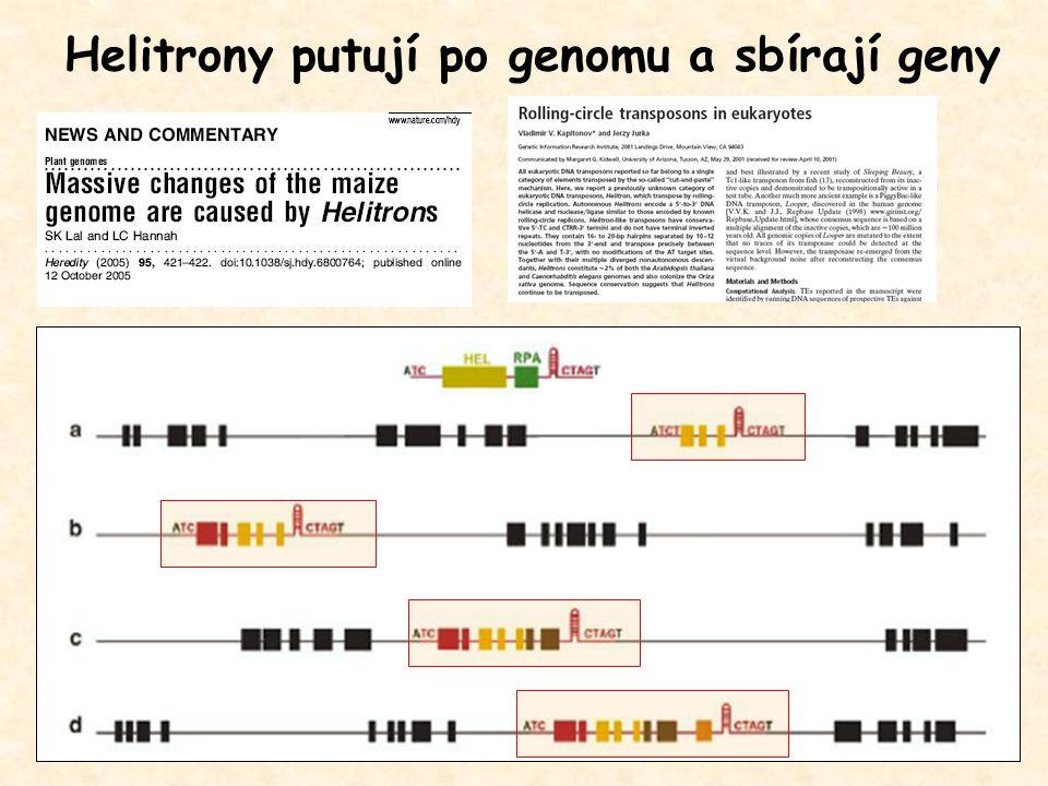 Helitrony putují po genomu a sbírají geny