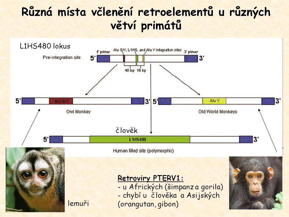 Různá místa včlenění retroelementů u různých větví primátů