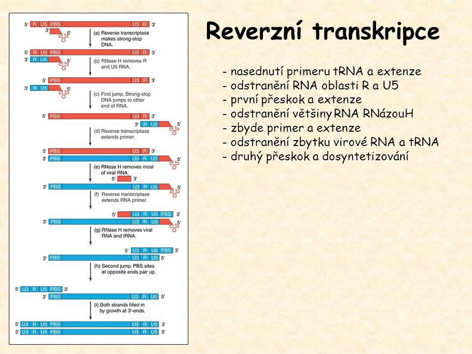 Reverzní transkripce - nasednutí primeru tRNA a extenze