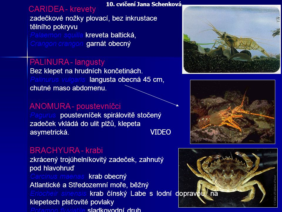 ANOMURA - poustevníčci