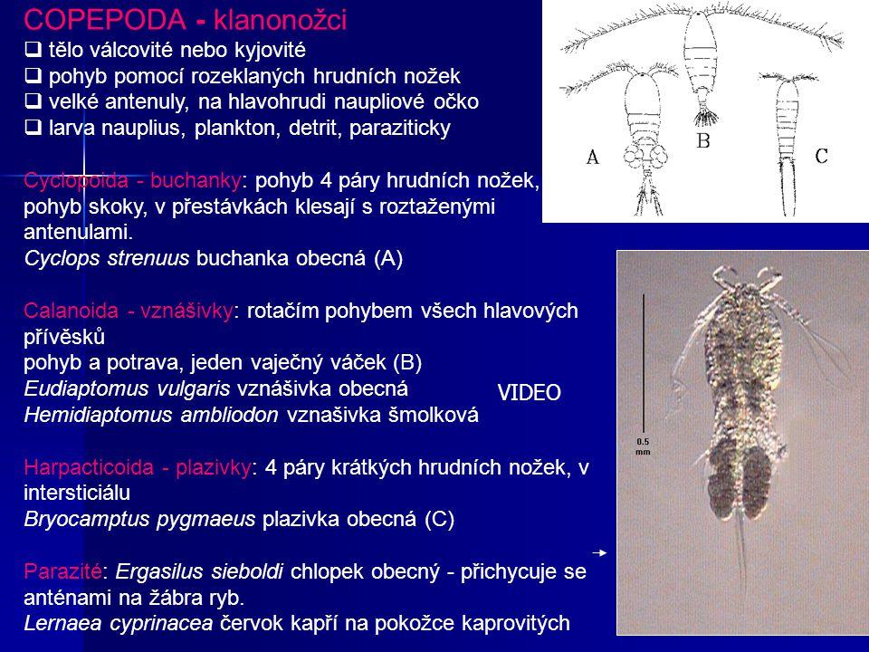 COPEPODA - klanonožci tělo válcovité nebo kyjovité