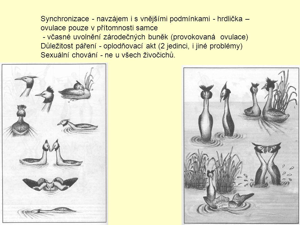 Synchronizace - navzájem i s vnějšími podmínkami - hrdlička – ovulace pouze v přítomnosti samce