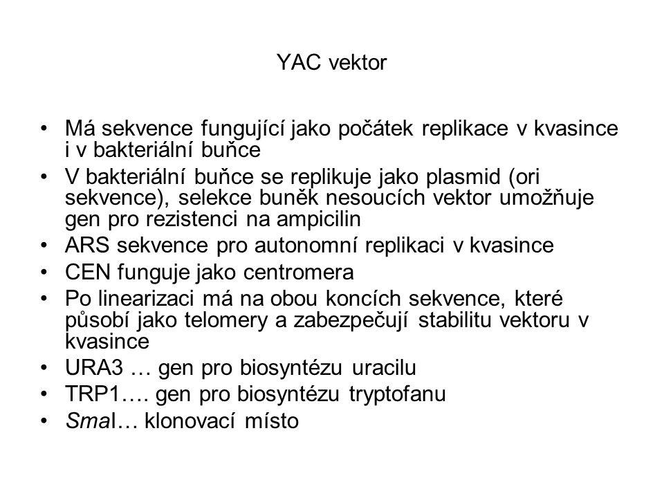 YAC vektor Má sekvence fungující jako počátek replikace v kvasince i v bakteriální buňce.