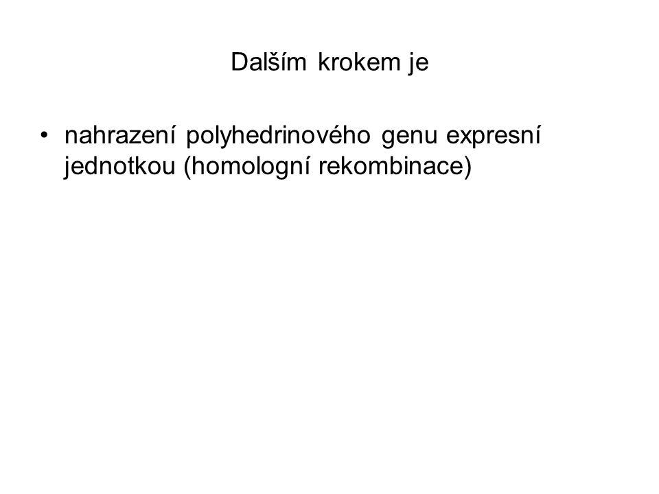 Dalším krokem je nahrazení polyhedrinového genu expresní jednotkou (homologní rekombinace)