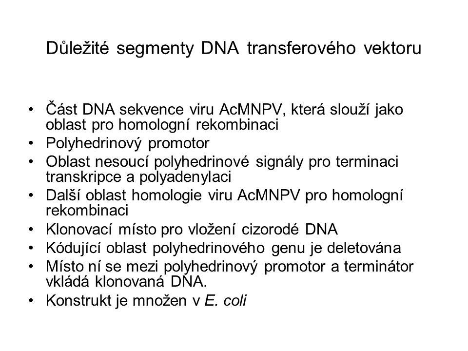 Důležité segmenty DNA transferového vektoru
