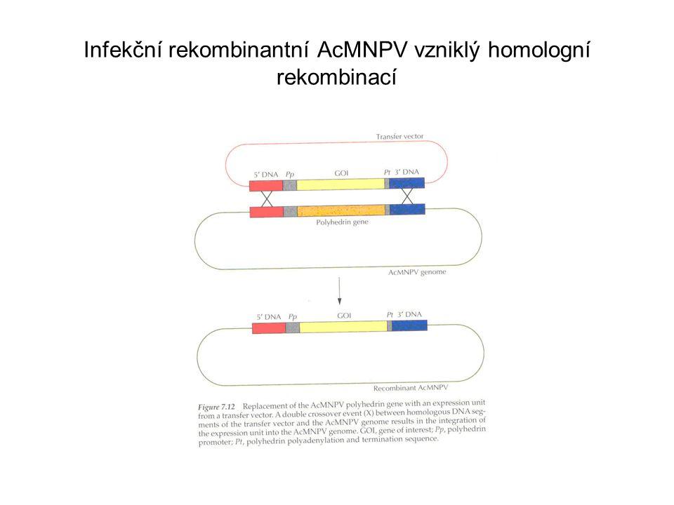 Infekční rekombinantní AcMNPV vzniklý homologní rekombinací