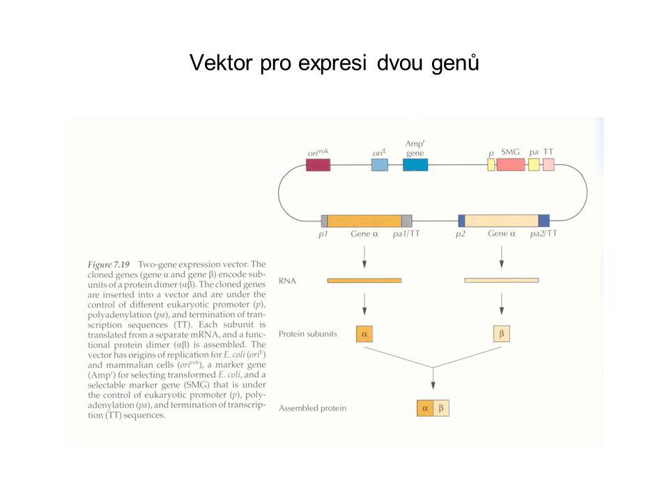 Vektor pro expresi dvou genů