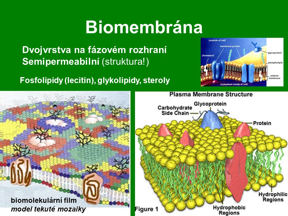 Biomembrána Dvojvrstva na fázovém rozhraní