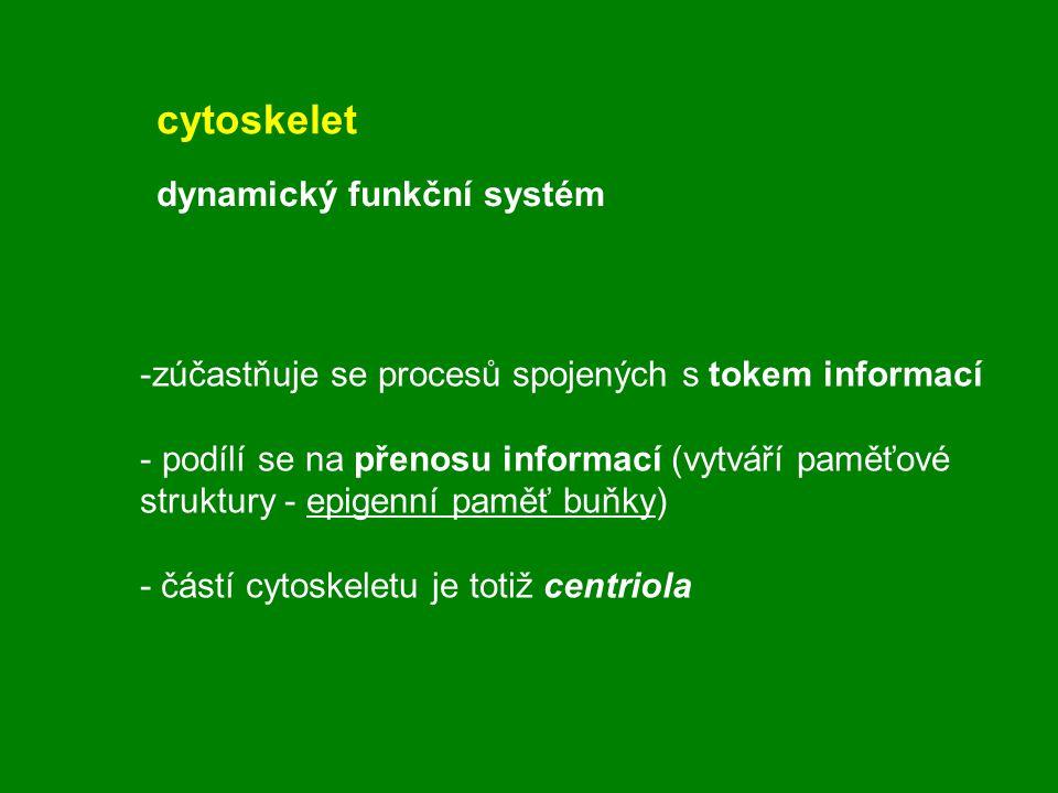 cytoskelet dynamický funkční systém